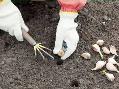 Готовим почву к посадке озимого чеснока