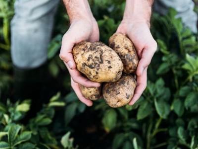 Срок уборки картошки