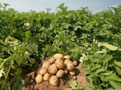 Несколько мифов о выращивании картошки