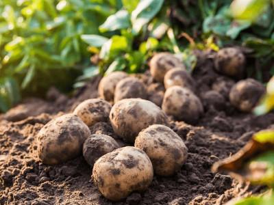 Когда копать картофель, и главное, как правильно это сделать?