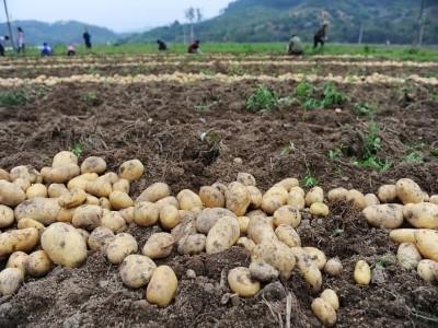 Как выбрать картофелекопалки для мотоблока